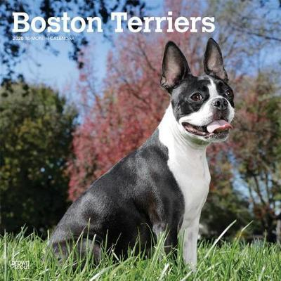 Boston Terriers 2020 Square Wall Calendar by Inc Browntrout Publishers