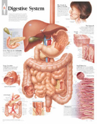 Digestive System by Scientific Publishing image