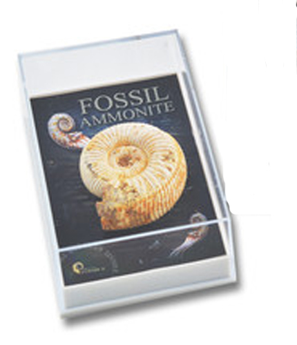 Gift Boxed Fossil: Ammonite