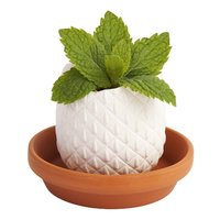 Pineapple - Peppermint Crack & Grow Kit
