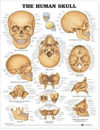 The Human Skull Anatomical Chart image