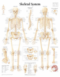 Skeletal System by Scientific Publishing