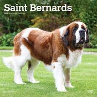 Saint Bernards 2020 Square Wall Calendar by Inc Browntrout Publishers