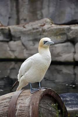 Northern Gannet Bird Journal by Cs Creations
