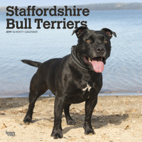 Staffordshire Bull Terriers 2019 Square Wall Calendar