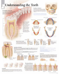 Understanding Teeth image