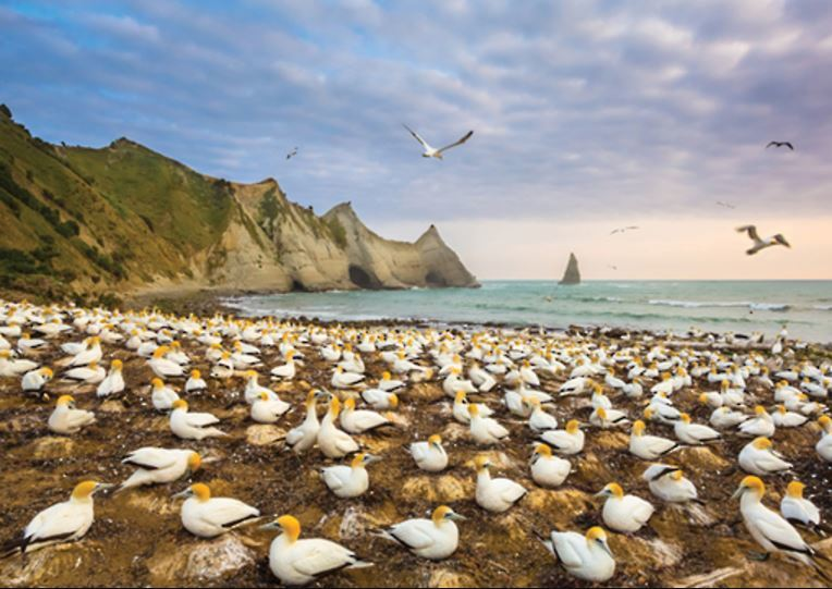 Holdson: Explore New Zealand: Series 2 - Gannet Colony, Cape Kidnappers - 100 Piece Puzzle image