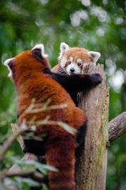 Mind Blowing Cute Red Panda Playing with Friend 150 Page Lined Journal by Mindblowing Journals image
