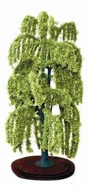 Mature Willow Tree