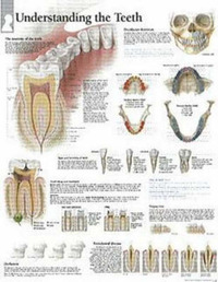 Understanding Teeth image