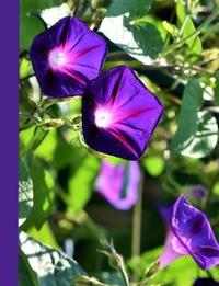 Vibrant Purple Morning Glory Blank Notebook by Ahri's Notebooks & Journals