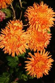 Orange Mums Autumn Flower Journal by Cs Creations image