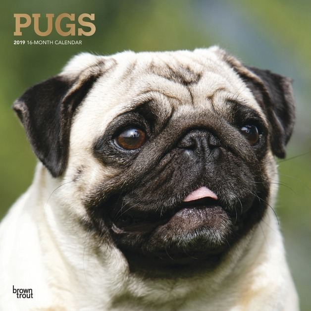 Pugs 2019 Square Wall Calendar by Inc Browntrout Publishers