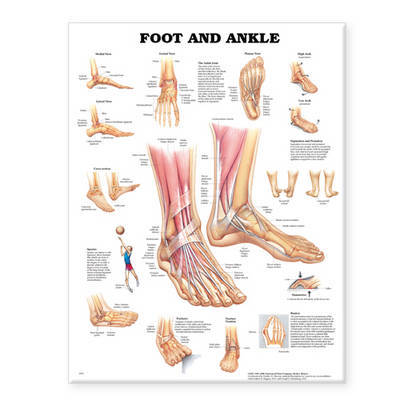 Foot and Ankle Anatomical Chart image