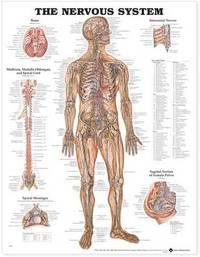 The Nervous System Anatomical Chart image