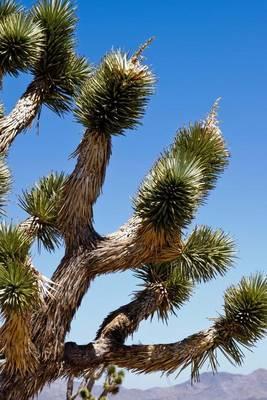 Joshua Tree Yucca Brevifolia in the California Desert by Unique Journal
