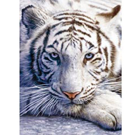 3D LiveLife Poster - White Tiger Repose