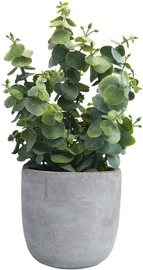 Potted Eucalyptus (27cm)