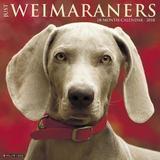 Just Weimaraners 2018 Wall Calendar (Dog Breed Calendar) by Willow Creek Press