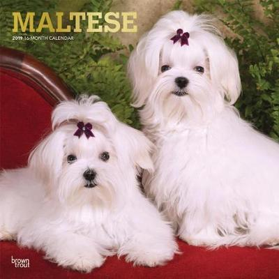 Maltese 2019 Square Wall Calendar by Inc Browntrout Publishers image