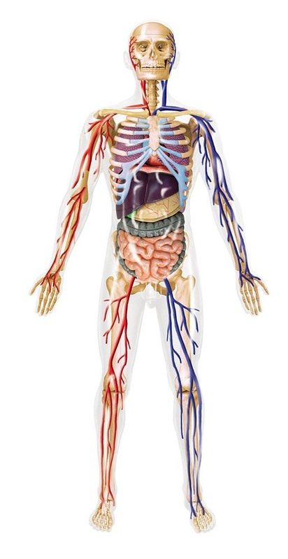 16 4d Human Anatomy Transparent Human Body Model Kit At Mighty Ape Nz