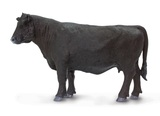 Safari - Angus Cow