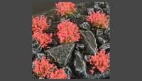 Gamer Grass Red Flowers (Wild)