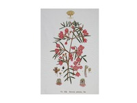 Maxwell & Williams: Royal Botanic Garden Tea Towel - Boronia (50x70cm)