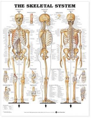 The Skeletal System Anatomical Chart image