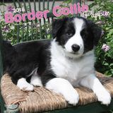 Border Collie Puppies 2018 Square Wall Calendar