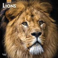 Lions 2019 Square Wall Calendar by Inc Browntrout Publishers