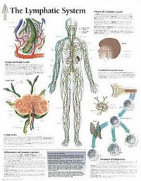 Lymphatic System image