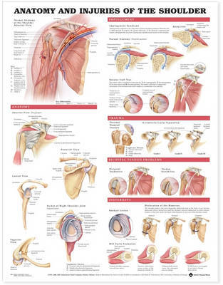 Anatomy and Injuries of the Shoulder Anatomical Chart image