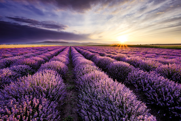 Lavender Field Sunset Maxi Poster (979)