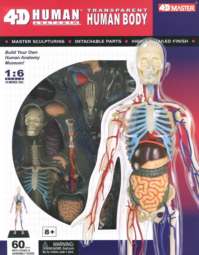 16 4d Human Anatomy Transparent Human Body Model Kit At Mighty Ape Nz