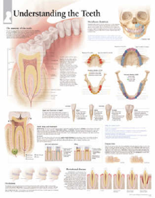 Understanding Teeth