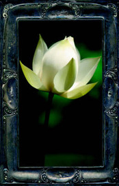 Letting the Lotus Bloom by Kevin Kelly, M.F image
