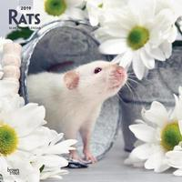 Rats 2019 Square Wall Calendar by Inc Browntrout Publishers image