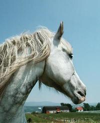 Horse Photo School Composition Book Equine Gazing Dappled Grey by Distinctive Journals