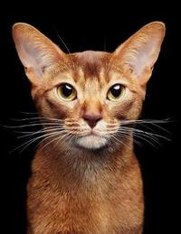 Abyssinian by Notebooks Journals Xlpress image
