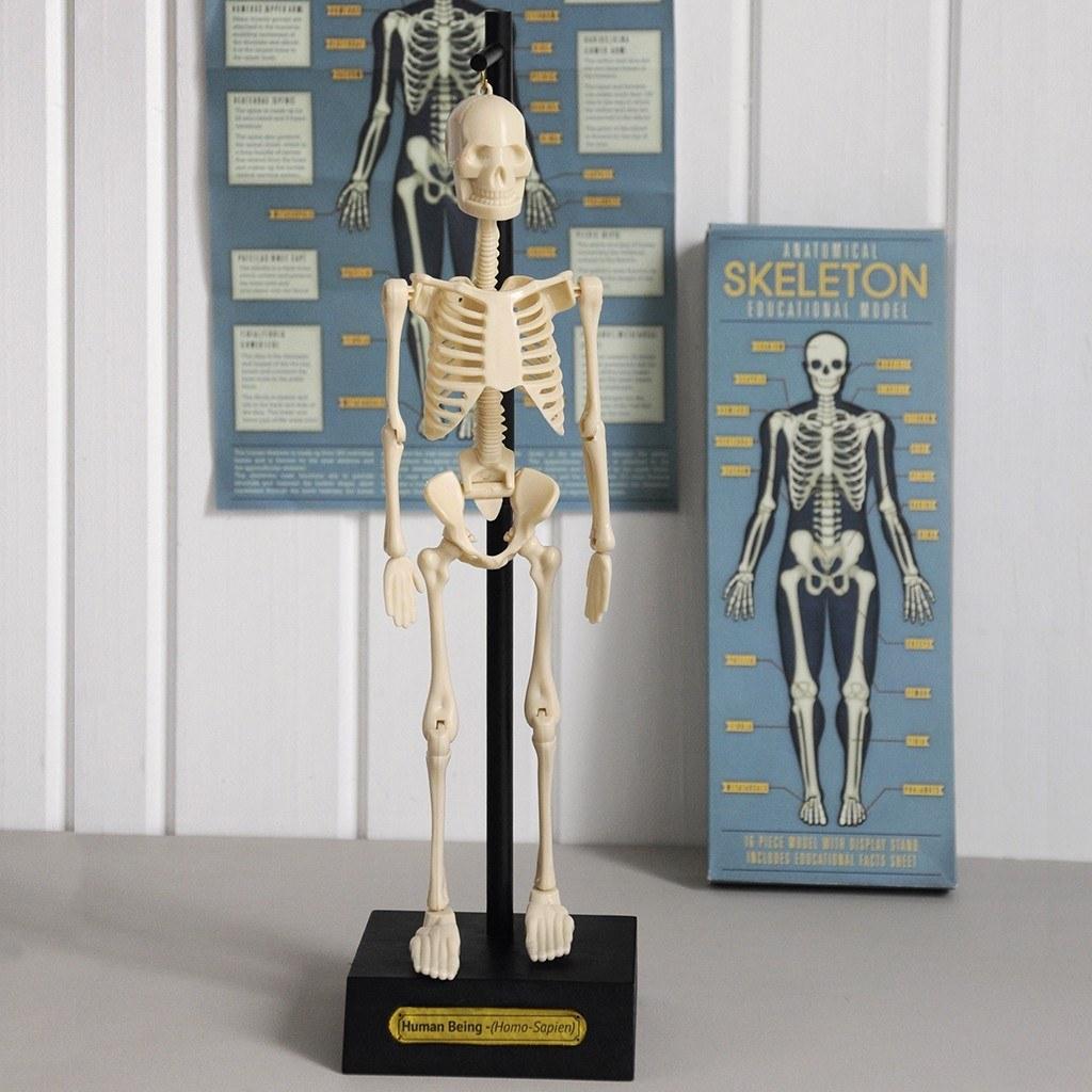 Anatomical Skeleton Model image
