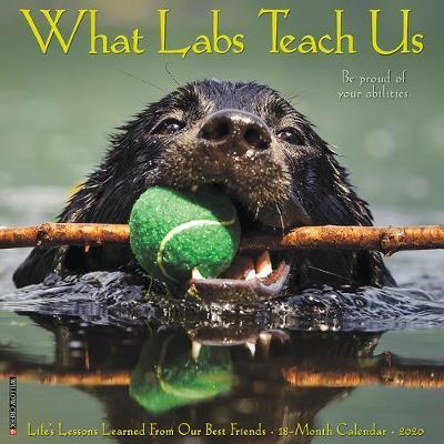 What Labs Teach Us 2020 Wall Calendar (Dog Breed Calendar) by Willow Creek Press