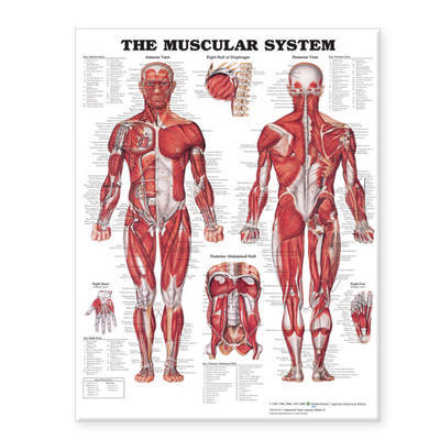 The Muscular System Giant Chart image