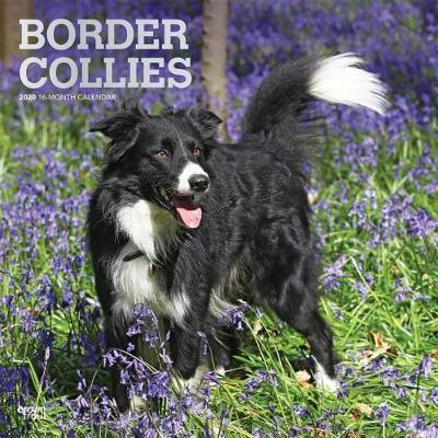Border Collies 2020 Square Foil Wall Calendar