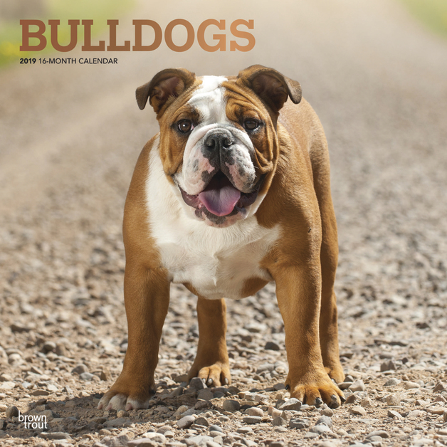 Bulldogs 2019 Square Wall Calendar by Inc Browntrout Publishers