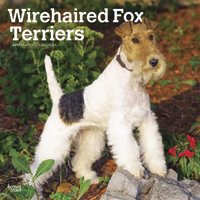Wirehaired Fox Terriers 2019 Square Wall Calendar