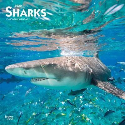 Sharks 2020 Square Wall Calendar