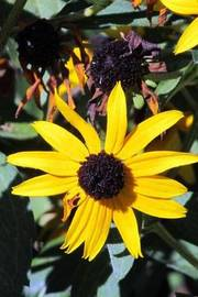Brown-Eyed Susan Flower Journal by Cs Creations image