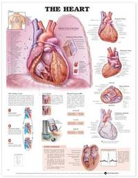 The Heart Anatomical Chart image