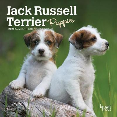 Jack Russell Terrier Puppies 2020 Mini Wall Calendar